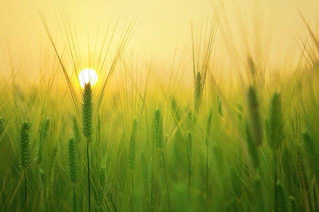A field of grain at sunrise